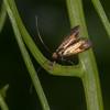 Meadow Long-horn, female laying on Garlic Mustard, Adela rufimitrella 2754