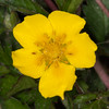 Common Rock-rose, Helianthemum chamaecistus 2778