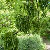 Ash seeds, Fraxinus excelsior 9321