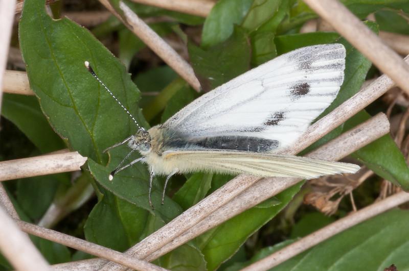 Green-veined White, Pieris napi 2621