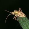 Striped Oak Bug, late instar nymph, Rhabdomiris striatellus 2780