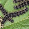 Small Tortoiseshell larvae, Aglais urticae 2723