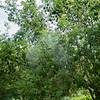 Ash seeds, Fraxinus excelsior 9323