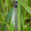 Red-Eyed Damselfly, female, Erythromma najas 2685
