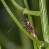 Meadow Long-horn, female laying on Garlic Mustard, Adela rufimitrella 2743