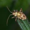 Striped Oak Bug, late instar nymph, Rhabdomiris striatellus 2783