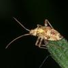 Striped Oak Bug, late instar nymph, Rhabdomiris striatellus 2781