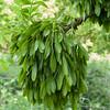 Ash seeds, Fraxinus excelsior 9322