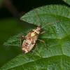 Striped Oak Bug, late instar nymph, Rhabdomiris striatellus 2525