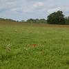 Red Poppies, Papaver rhoeas, Midhurst-Petworth 3430