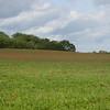 Red Poppies, Papaver rhoeas, Midhurst-Petworth 3428