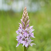 Common Spotted-orchid, Dactylorhiza fuchsii, f5 6 800s 82mm 4251
