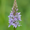 Common Spotted-orchid, Dactylorhiza fuchsii, f5 6 1000s 270mm 4247