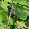 Golden-ringed Dragonfly, Cordulegaster  boltonii 4317