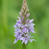 Common Spotted-orchid, Dactylorhiza fuchsii, f8 500s 270mm 4244