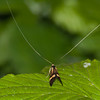 Yellow-barred Longhorn, Nemophora degeerella 4613