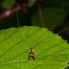 Yellow-barred Longhorn, Nemophora degeerella 4584