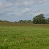 Red Poppies, Papaver rhoeas, Midhurst-Petworth 3429