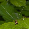 Yellow-barred Longhorn, Nemophora degeerella 4603
