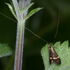 Yellow-barred Longhorn, Nemophora degeerella 4601