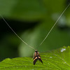 Yellow-barred Longhorn, Nemophora degeerella 4612