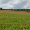 Red Poppies, Papaver rhoeas, Midhurst-Petworth 3431