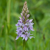 Common Spotted-orchid, Dactylorhiza fuchsii, f11 160s 270mm 4236