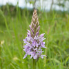 Common Spotted-orchid, Dactylorhiza fuchsii, f16 80s 82mm 4275