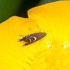 Cocksfoot Moth, Glyphipterix simpliciella 4343