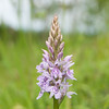 Common Spotted-orchid, Dactylorhiza fuchsii, f8 500s 82mm 4255