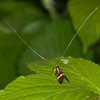 Yellow-barred Longhorn, Nemophora degeerella 4602