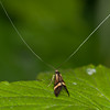 Yellow-barred Longhorn, Nemophora degeerella 4605