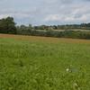 Red Poppies, Papaver rhoeas, Midhurst-Petworth 3436