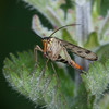 Scorpion fly, Panorpa species 4440