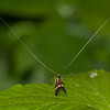 Yellow-barred Longhorn, Nemophora degeerella 4606