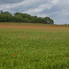 Red Poppies, Papaver rhoeas, Midhurst-Petworth 3432
