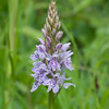 Common Spotted-orchid, Dactylorhiza fuchsii, f22 60s 270mm 4238
