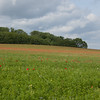 Red Poppies, Papaver rhoeas, Midhurst-Petworth 3433