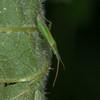 Grass bug, Stenodema calcarata 4363