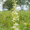 Greater Butterfly Orchid, Platanthera chlorantha, f11 250s 75mm 4303