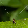 Yellow-barred Longhorn, Nemophora degeerella 4610