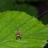 Yellow-barred Longhorn, Nemophora degeerella 4586
