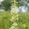 Greater Butterfly Orchid, Platanthera chlorantha, f8 400s 78mm 4284