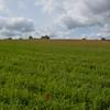 Red Poppies, Papaver rhoeas, Midhurst-Petworth 3438