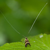Yellow-barred Longhorn, Nemophora degeerella 4604