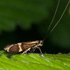 Yellow-barred Longhorn, Nemophora degeerella 4625