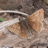 Dingy Skipper, Erynnis tages 3701