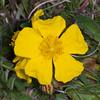 Rock-rose, Helianthemum chamaecistus 3681