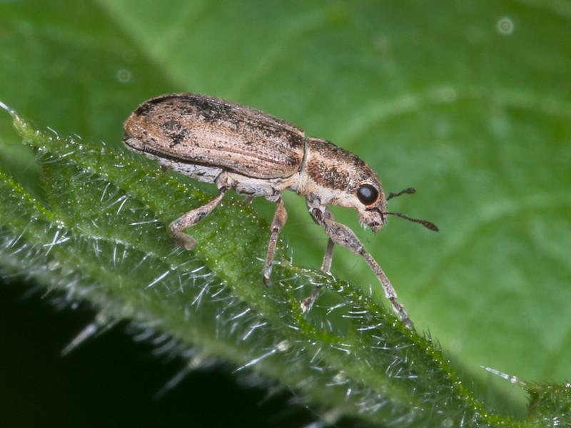Common Leaf Weevil, Phyllobius pyri 3813