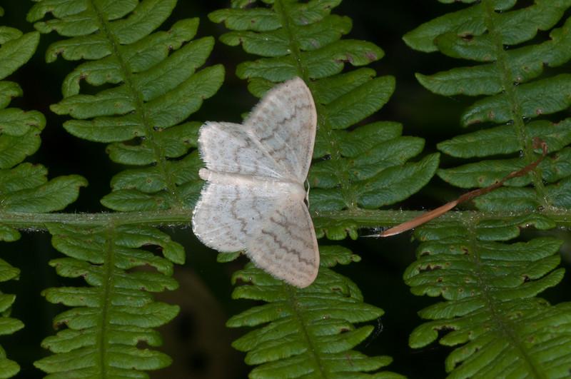 Cream Wave, Scopula floslactata 3760